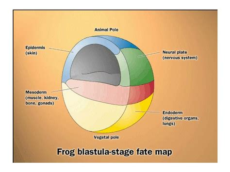 blastula diagram the of notch signaling pathway in xenopus laevis