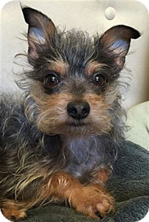 yorkie puppies seattle quot finnigan quot adopted seattle wa yorkie terrier poodle mix