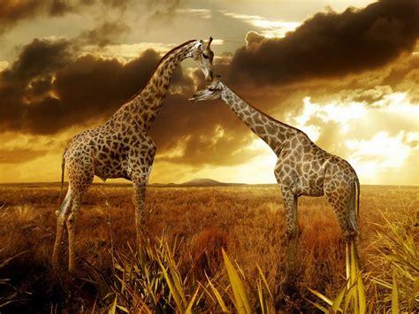 imagenes de jirafas con versos 191 son mudas las jirafas wakan the wild guide