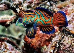 colored fish mandarinfish animal