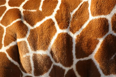 giraffe pattern iphone wallpaper giraffe desktop wallpapers free on latoro com