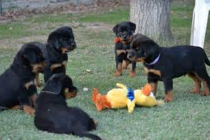 why to go for rottweiler puppies for adoption
