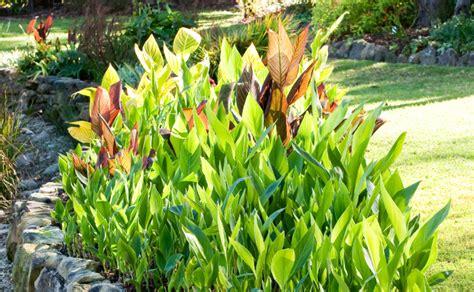 lilies or lillies canna lilies burke s backyard