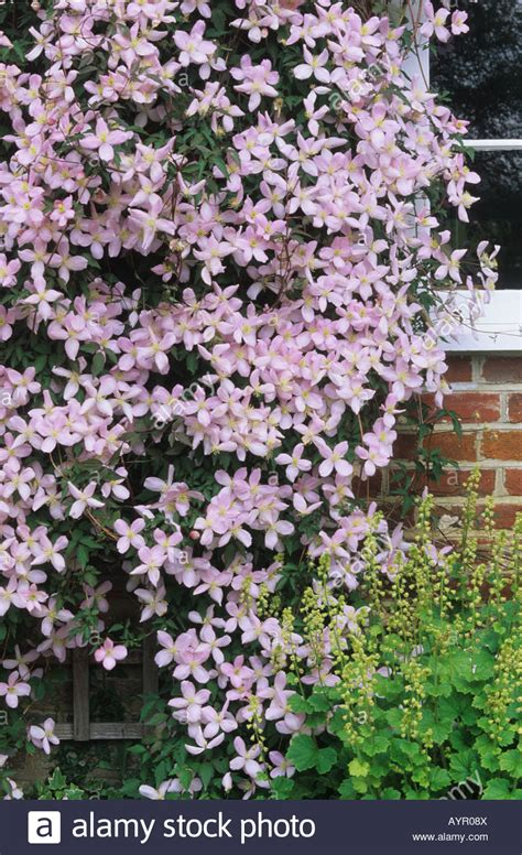 deciduous climbing plants clematis montana climbing on house wall flower