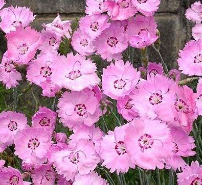 Benih Kenikir Pink Cosmos Bipinnatus Klondike Pink Flower Benih Pink Cottage Flower 10 Biji Non Retail
