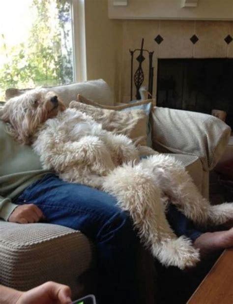 human hair dog cut pics best 25 wheaten terrier ideas on pinterest wheaton
