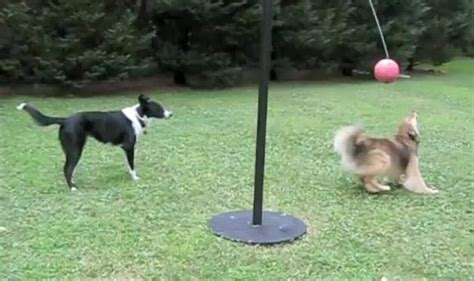 tetherball for dogs canine trend dogs tetherball pop goes the week