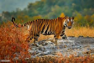 herding tigers be the leader that creative need books wildlife reserve stock photos and pictures getty images