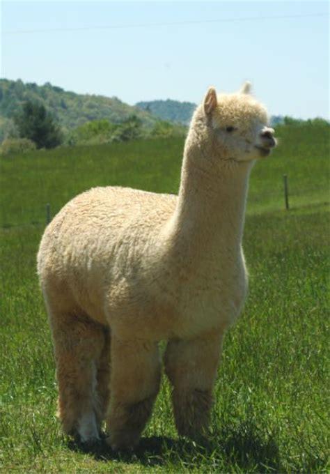 Gorgeous Alpaca From alpaca beautiful animals beautiful