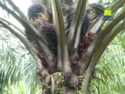 Pupuk Organik Grow More 081226523400 panduan meningkatkan produksi kelapa sawit
