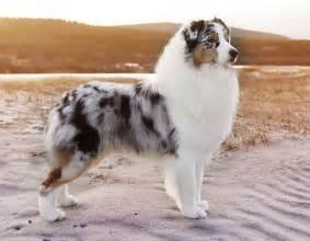 le berger australia 25 best ideas about australian shepherds on