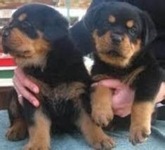 adopt a rottweiler puppy for free pets free classified ads