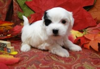 puppies for sale odessa tx 3 awesome maltese puppies for sale houston for sale odessa midland pets birds