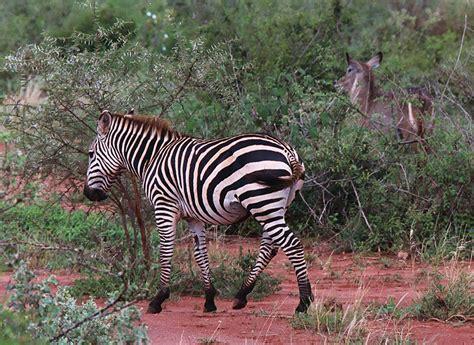 Ac Zebra tsavo west national park kenya