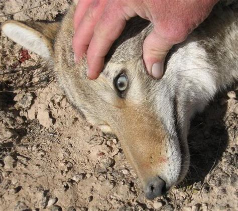 can coyotes see green light coyote eye colors
