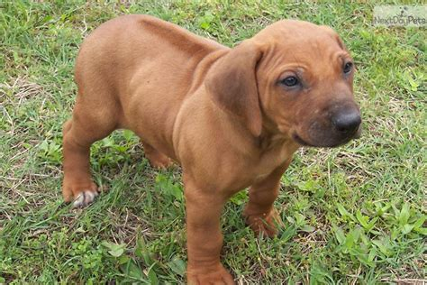 ridgeback puppies rhodesian ridgeback puppy for sale near east tx c5eb87d5 5f51