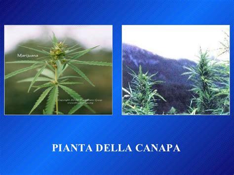 canapé hay cannabis e adolescenza