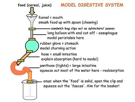 7 Tips To A Healthy Digestive System by Ib Biology Practical Investigations Human Health And