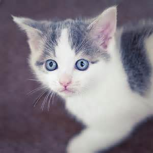gray and white kittens related keywords amp suggestions