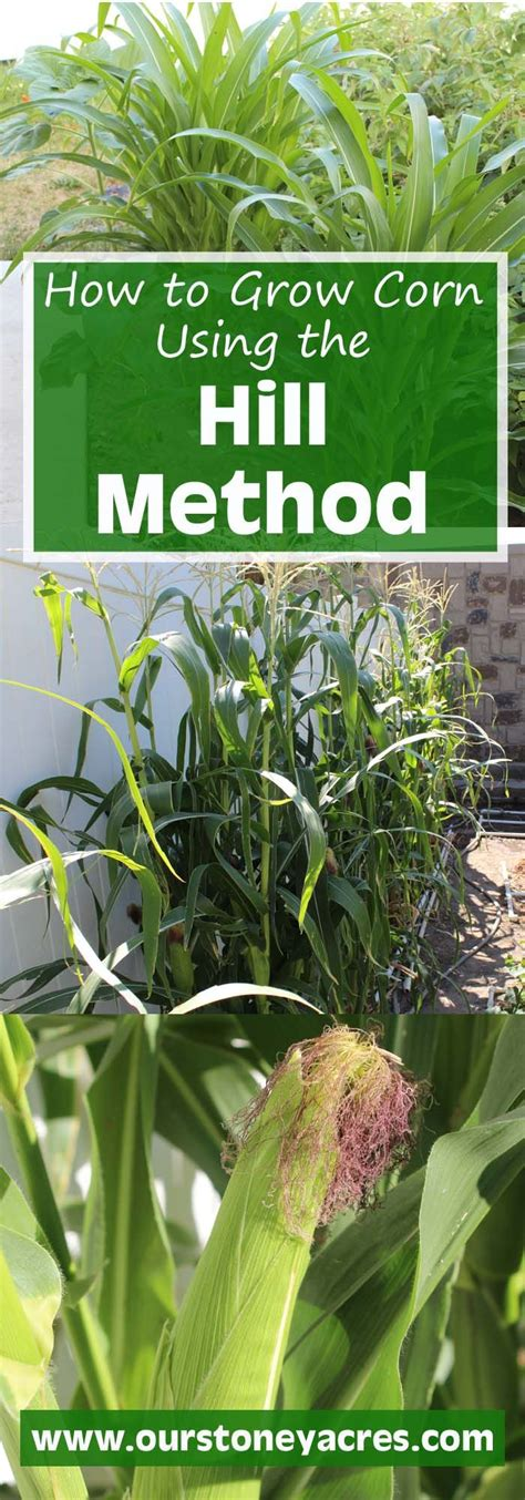 how to grow corn in your backyard 1000 ideas about hill garden on pinterest peonies