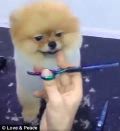 boo haircut pomeranian pomeranian enjoys getting groomed during a haircut in daily mail