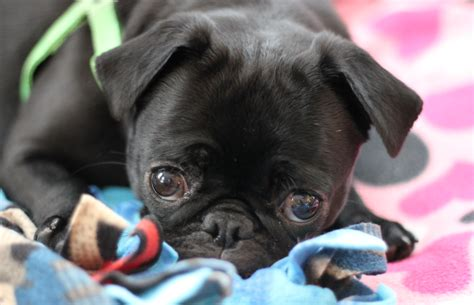 how much are pugs worth we re so to the pug run fundraising goal a few days left frugal