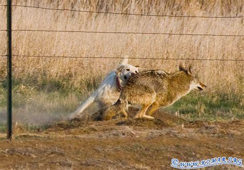coyote puppy fox vs coyote quotes