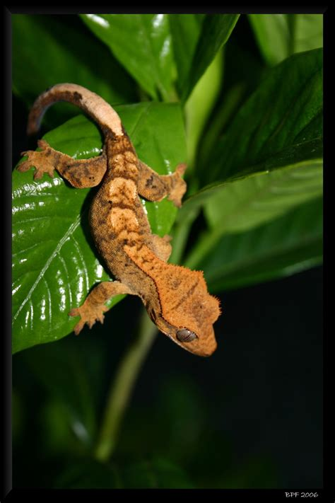 crested gecko care page 34