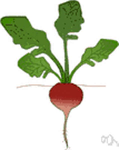 pungent root vegetable radish definition of radish by the free dictionary