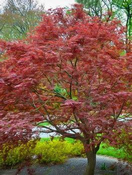 maple tree buy japanese maple trees buy japanese maple trees the tree center