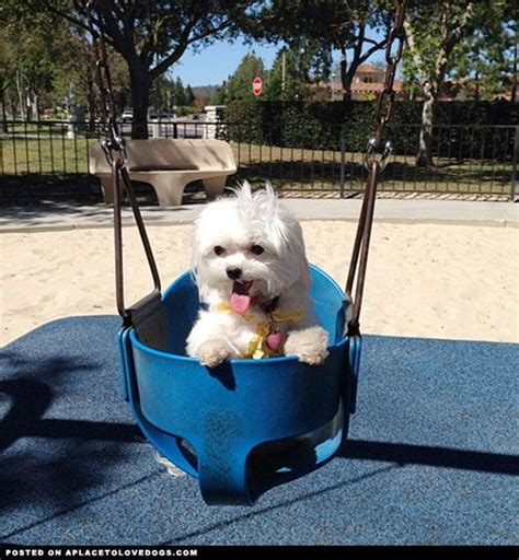 Swing Pets Gachapin X Mukku maltese in a swing aplacetolovedogs dogs puppy