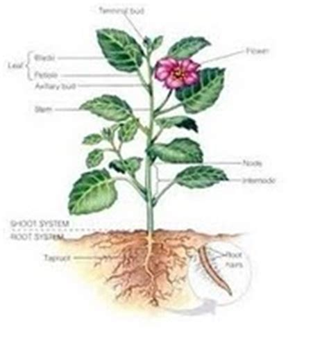 contoh bagian tumbuhan  fungsinya kumpulan contoh