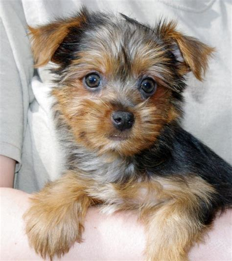 difference between yorkie and silky terrier silky terrier vs terrier breeds picture