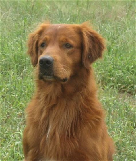 field golden retrievers saturday golden retrievers field golden retrievers lewistown montana