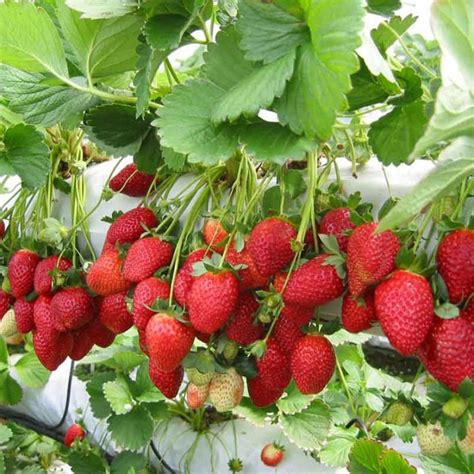 Jual Bibit Strawberry Lembang jual strawberry earlybrite bibit tanaman hidup pohon