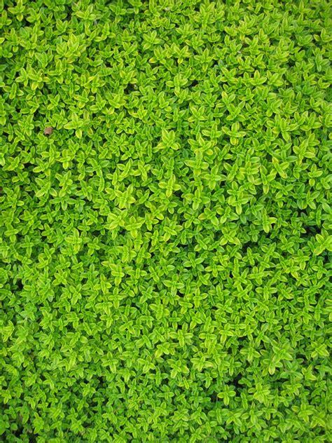 Daun Rambat Merambat Artificial Leaf Leaves Climbing Garland 3 gambar menanam merambat halaman rumput daun bunga lumut dedaunan hijau herba subur