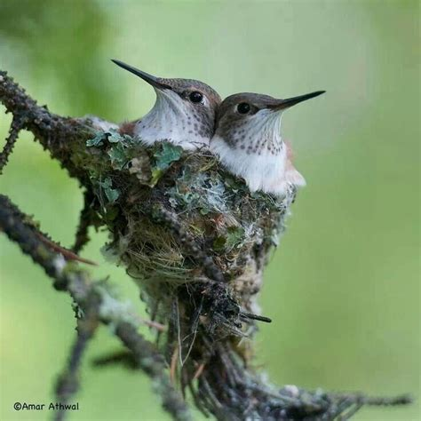 young rufous humming birds in nest pure spirit birds