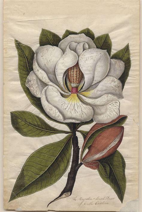 printable magnolia flowers botanical print magnolia illustration pinterest