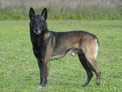 belgian sheepdog pictures berger belge chien et chiot belgian shepherd dog