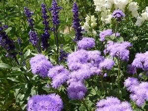 uv le pflanzen saatgut samen blauvioletter leberbalsam ageratum