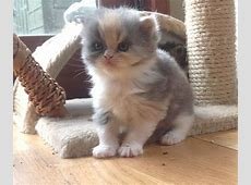 Exotic Persian kittens for sale... | Northampton ... Kittens For Sale