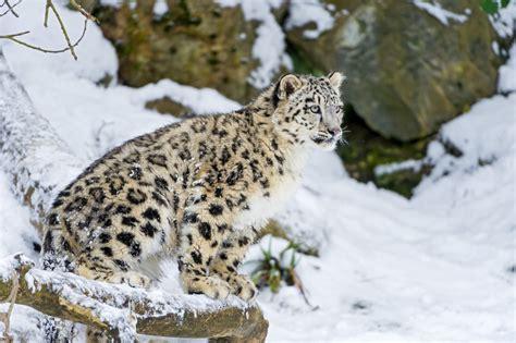 jaguar kitten snow leopard cat kitten snow leopard winter snow 169 tambako