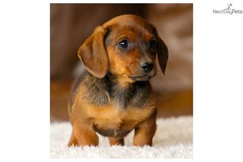 dachshund puppies for sale in birmingham al cooter dachshund puppy for sale near birmingham alabama 663b9a50 dc11