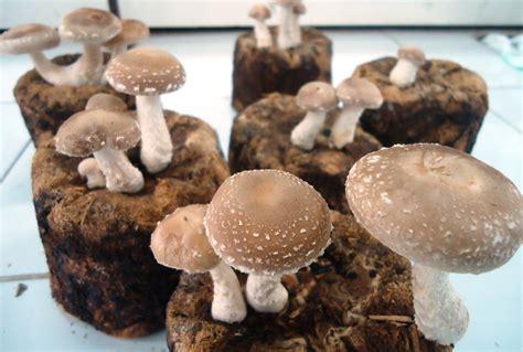 budidaya jamur shitake