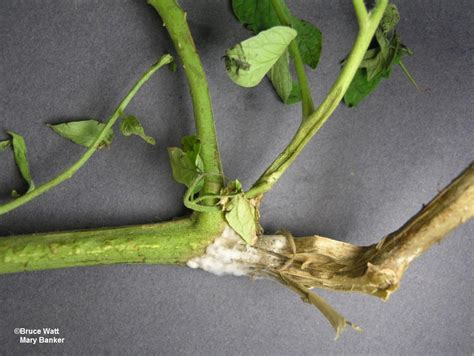Integrated Disease Management In Plants - tomato white mold signs amp symptoms umaine cooperative extension insect pests ticks and