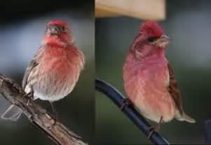 house finch purple finch comparison birds in