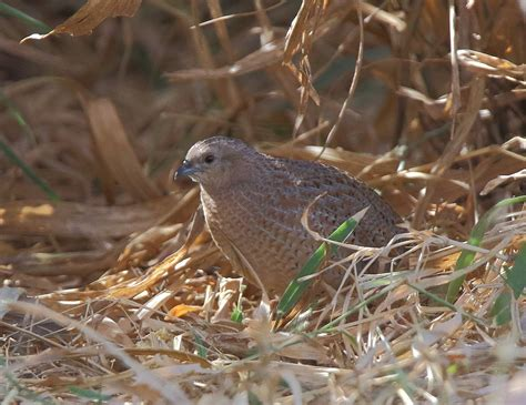 richard waring s birds of australia brown quails come out
