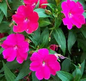 impatiens flowers impatiens flowers