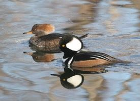 hooded merganser identification all about birds cornell lab of hooded merganser identification all about birds