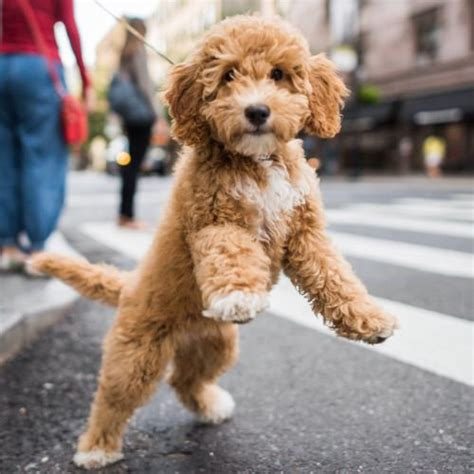 mini goldendoodle new york best 25 labradoodle pictures ideas on mini